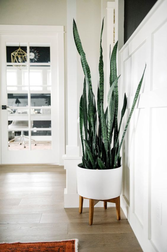 beautiful indoor snake plant in white standing pot with legs.